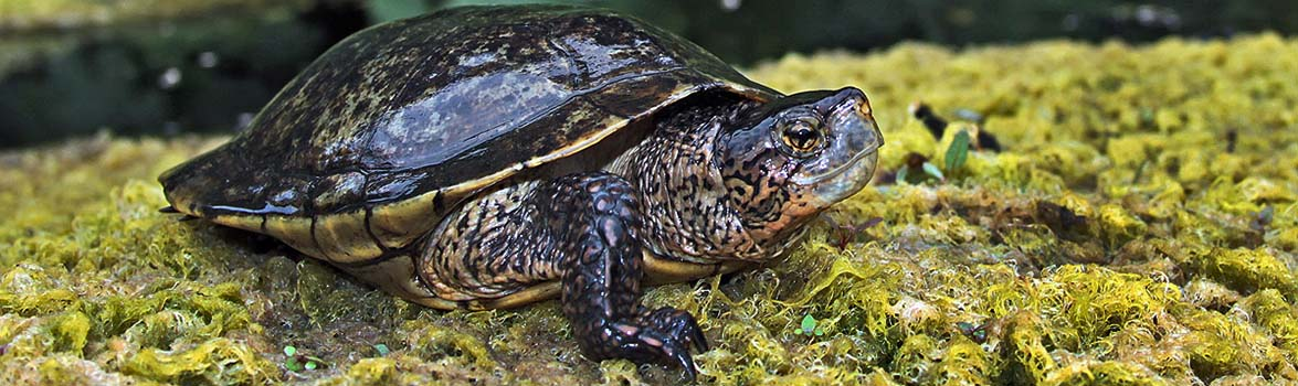 Sycuan Peak Ecological Reserve pond turtle