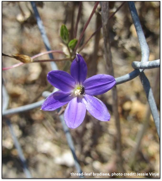 thread leaf brodiaea.jpg