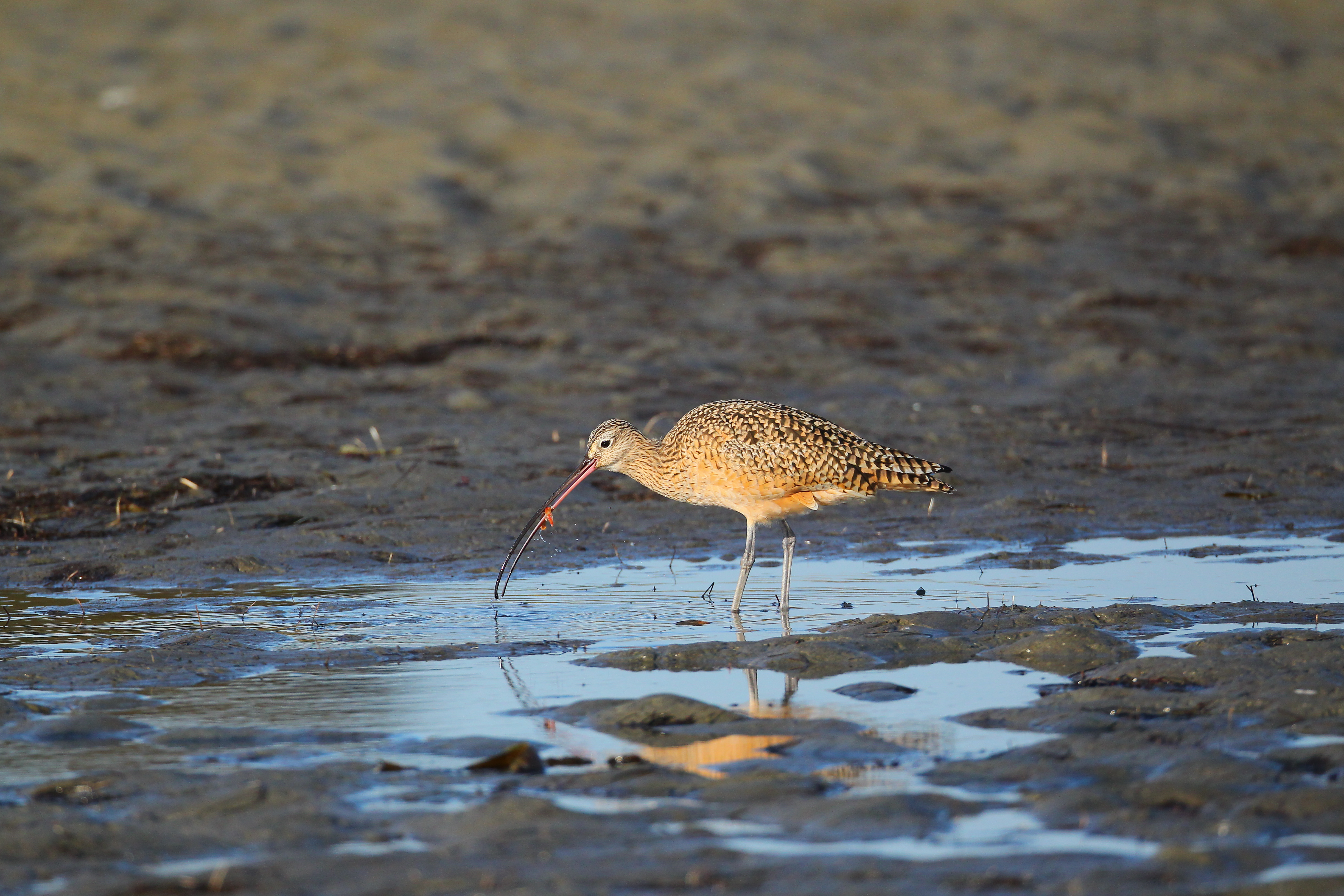 long-billed_curlew2_AlexHouston.jpg