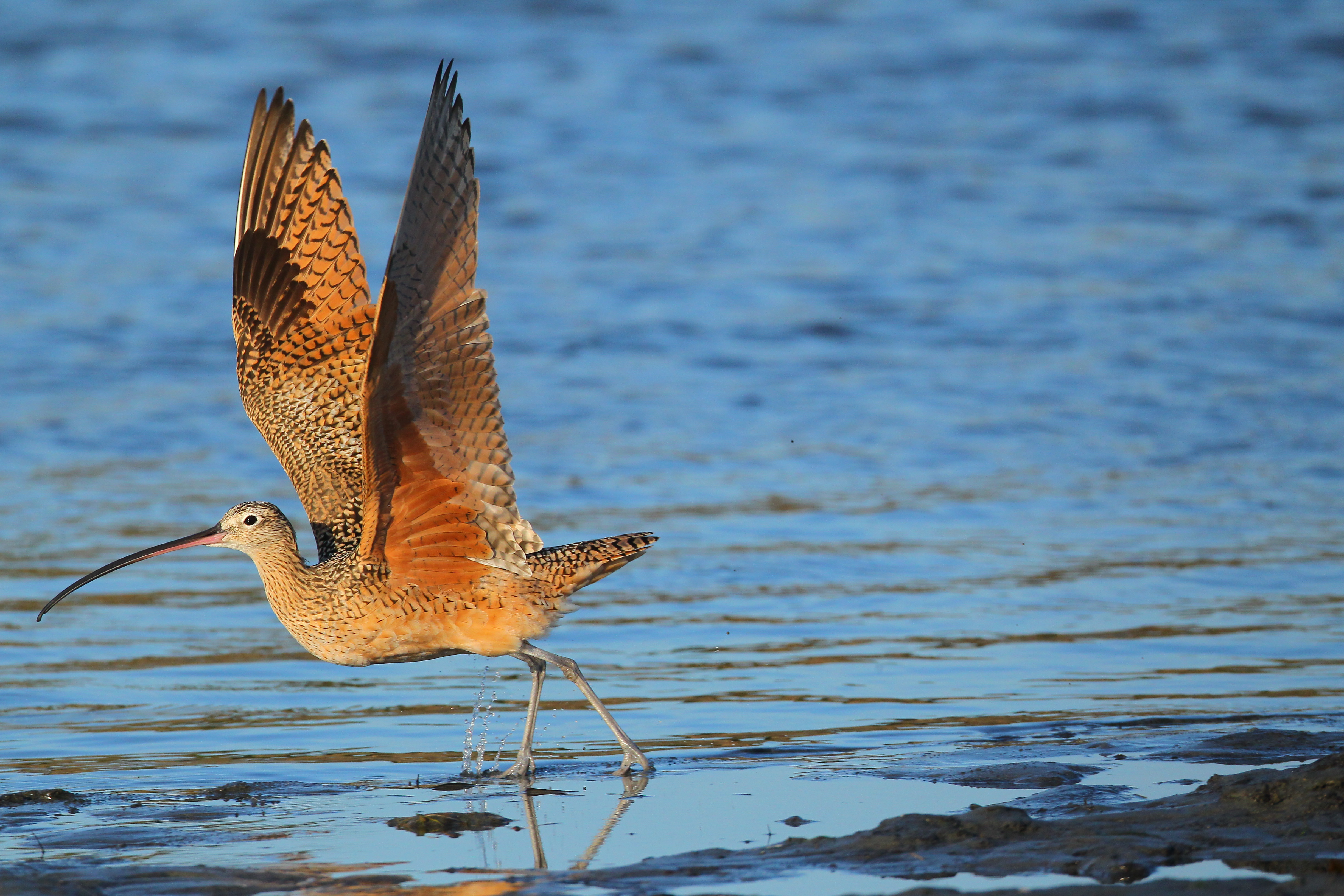 long-billed_curlew_AlexHouston.jpg