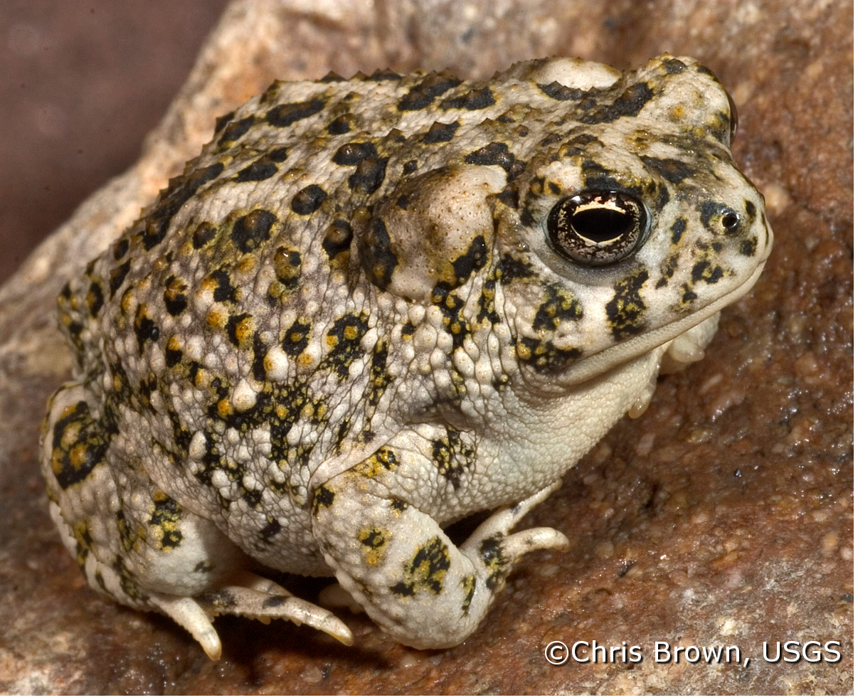 BUCAJuvie3_arroyo_toad_watermark5.jpg