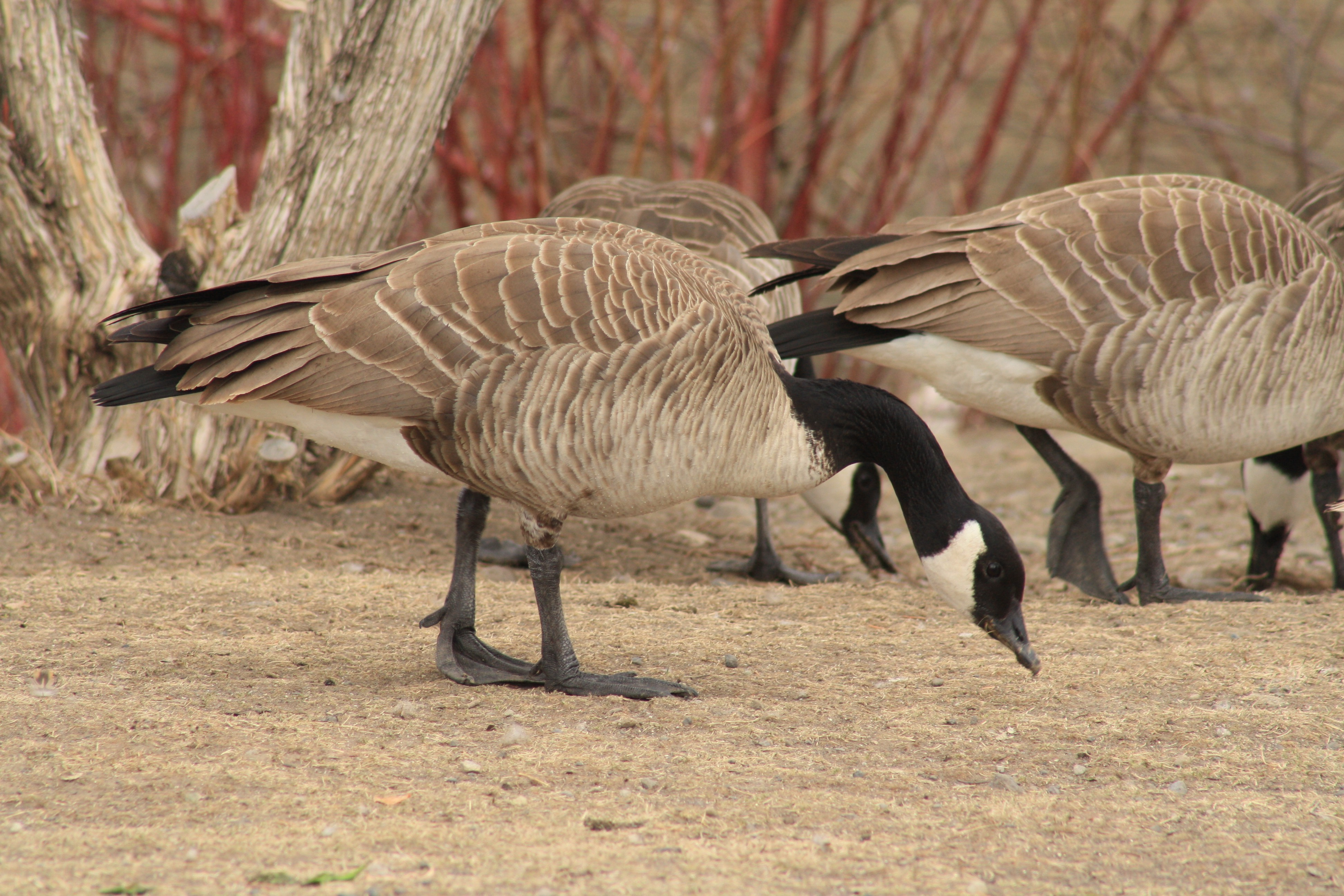 Canada Geese, Livingston, MT_PJ_Falatek.jpg
